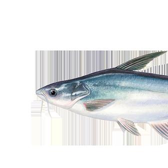Yayın balığı (pangasius)