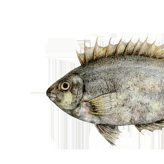 Sokar balığı